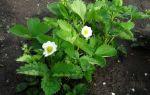 Как выращивать клубнику — богатый урожай отборных ягод при минимуме усилий